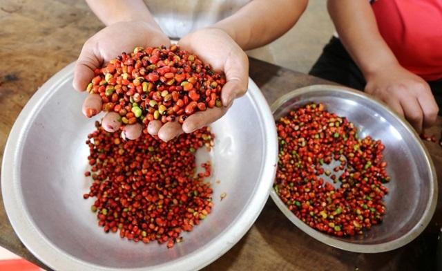 Hạt giống sâm ngọc linh có màu đỏ và có chấm đen ở phần đầu hạt