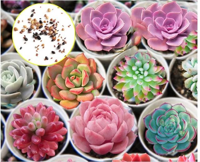 Hạt giống sen đá có rất nhiều loại khác nhau