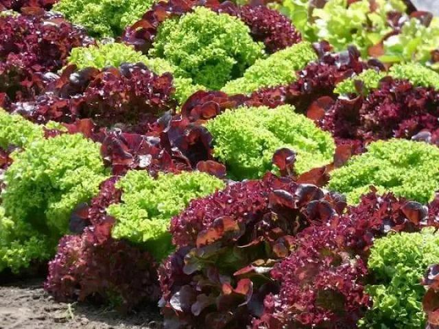 Hạt giống xà lách xoăn có 2 loại là màu xanh và màu tím rất đẹp mắt