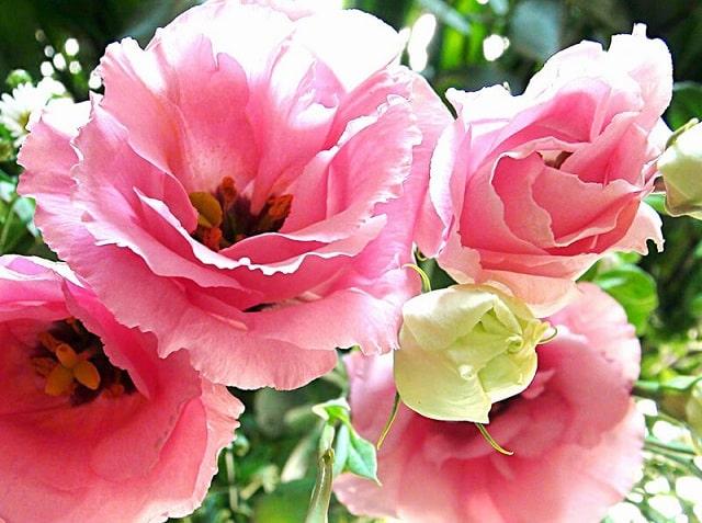 Hãy phòng sâu bệnh khi chăm sóc hoa Cát Tường