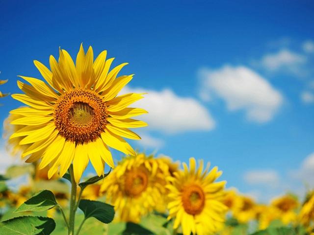 Hoa Hướng Dương loài hoa không chỉ đẹp mà còn mang nhiều ý nghĩa