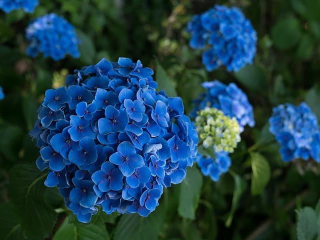 Hoa cẩm tú cầu ẩn chứa nhiều ý nghĩa đặc biệt