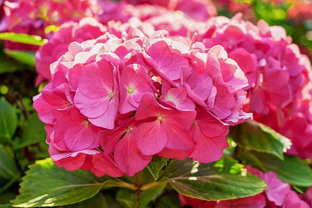 Hoa cẩm tú cầu được trồng để làm đẹp không gian và hỗ trợ chữa trị bệnh