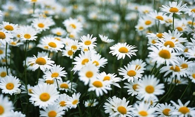 Hoa có thể dùng để làm trà thanh nhiệt, dưỡng da rất tốt