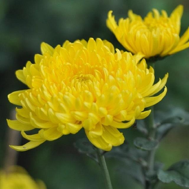 Hoa cúc vàng là hiện thân của sự cao quý