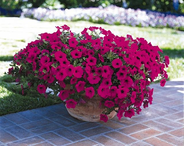 Hoa dạ yến có thân mềm mại với vẻ đẹp nhẹ nhàng, quyến rũ