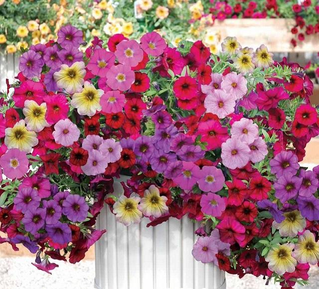 Hoa dạ yến thảo đơn nổi bật bởi những bông hoa nhiều màu sắc