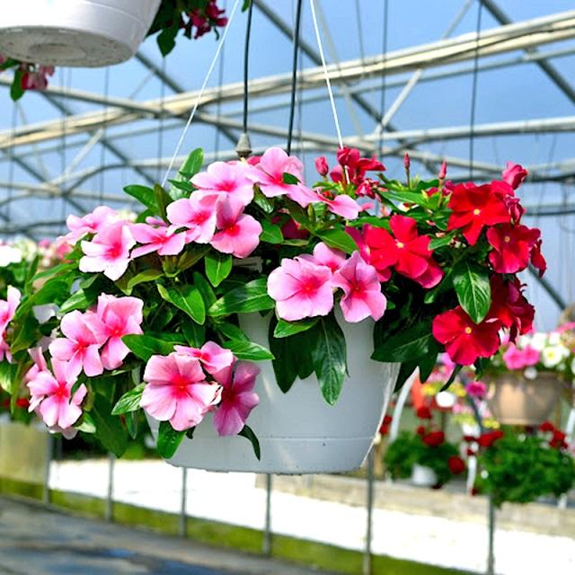 Hoa dừa cạn có thể dùng để trang trí hoặc làm quà tặng