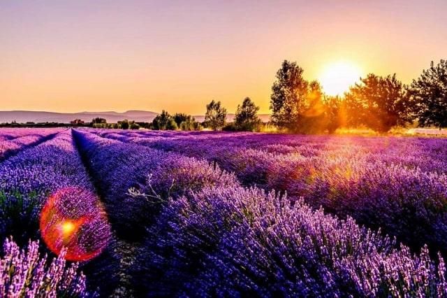 Hoa oải hương tỏa hương thơm đậm đà, dễ chịu