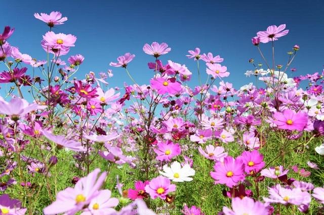 Để hoa cúc sao nhái ra đều và đẹp, cần chú ý chăm sóc kỹ càng