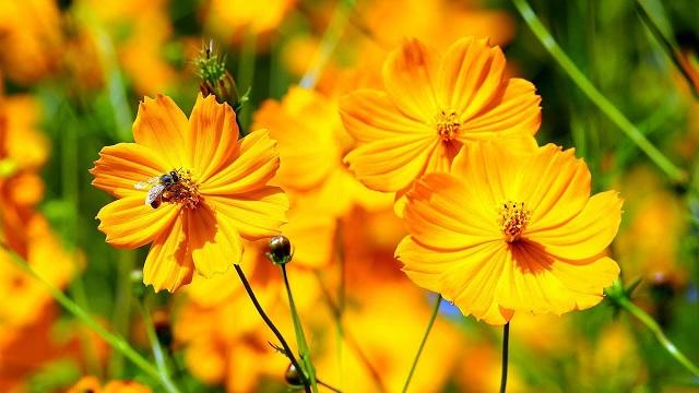 Hoa sao nhái rực rỡ sắc màu giúp làm đẹp cho không gian sống