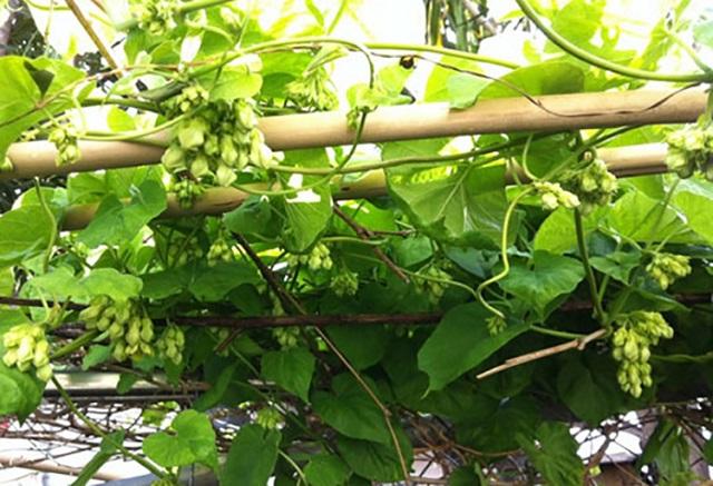 Hoa thiên lý là loài cây được trồng rất phổ biến ở Việt nam