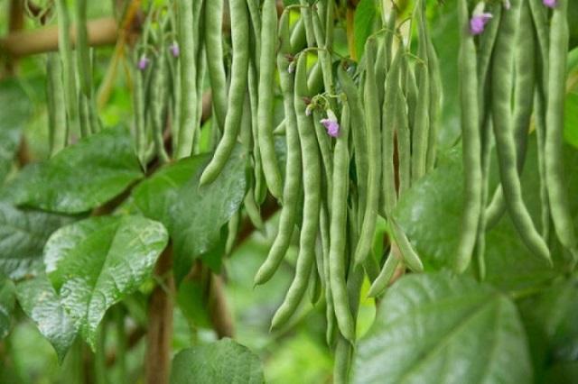 Hướng dẫn bạn cách trồng và chăm sóc đậu cove lùn mang đến năng suất cao