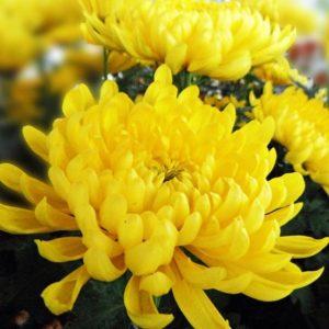Hướng dẫn cách lựa chọn hạt giống hoa cúc vàng tốt, dễ nảy mầm