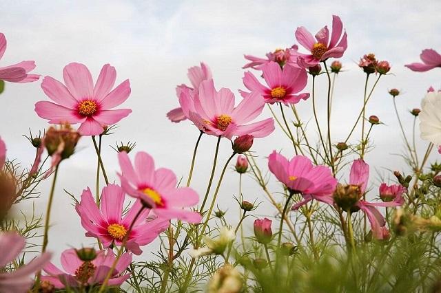 Loài hoa sao nhái có ẩn chứa nhiều ý nghĩa tốt đẹp