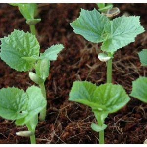 Mướp hương cần được tưới nước mỗi ngày và bón phân đầy đủ để cây cho năng suất cao nhất