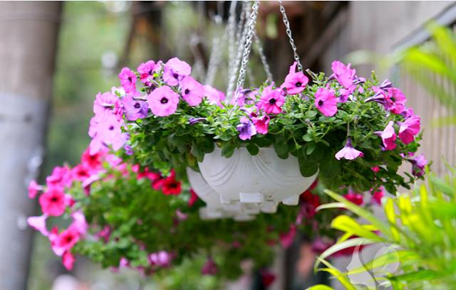Nên chăm sóc đúng cách để cây ra nhiều hoa