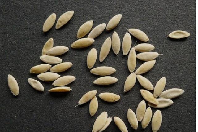 Nên sử dụng hạt giống dưa chuột chất lượng