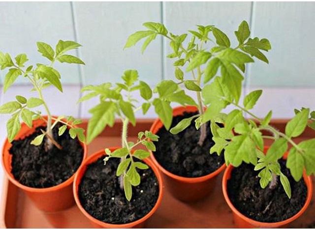 Nên trồng cây con ra các chậu với kích thước phù hợp để cây phát triển