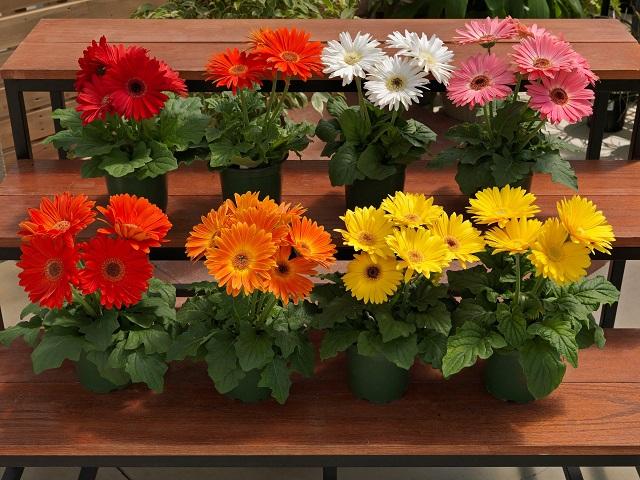 Nên trồng mỗi cây hoa trong một chậu với khoảng cách phù hợp