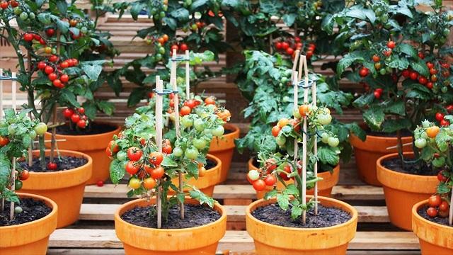 Quả cà chua bi có kích thước rất nhỏ