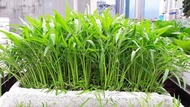 Rau muống là loại rau quen thuộc với tất cả người dân Việt Nam