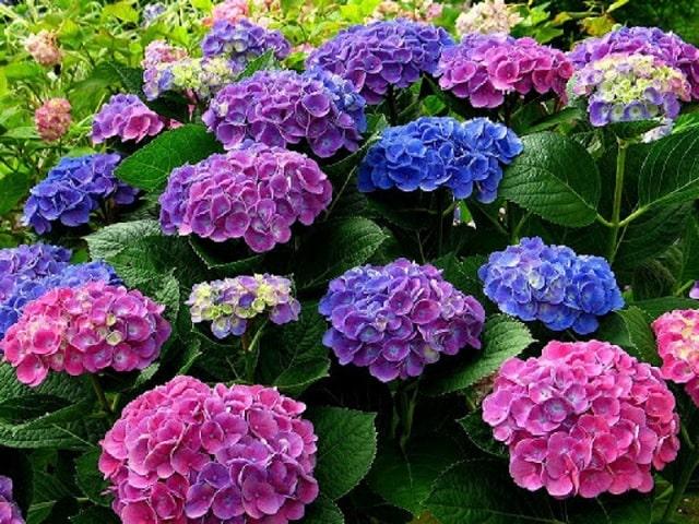 Sự hiện diện của hoa cẩm tú cầu đại diện cho lòng biết ơn, lời xin lỗi