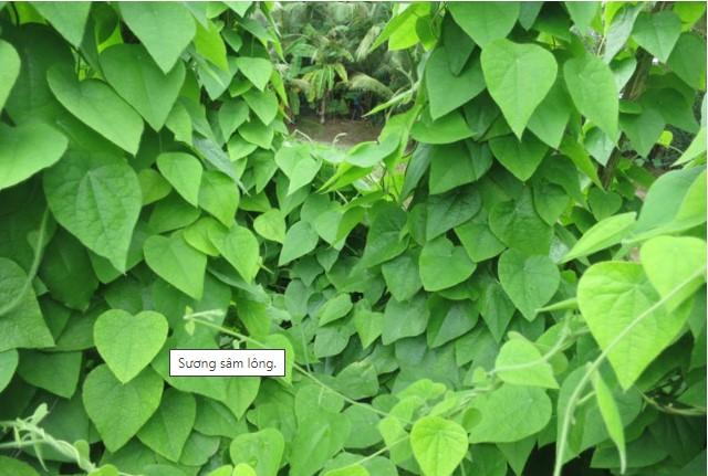 Sương sâm lông được bao phủ bởi lớp lông trên lá và thân