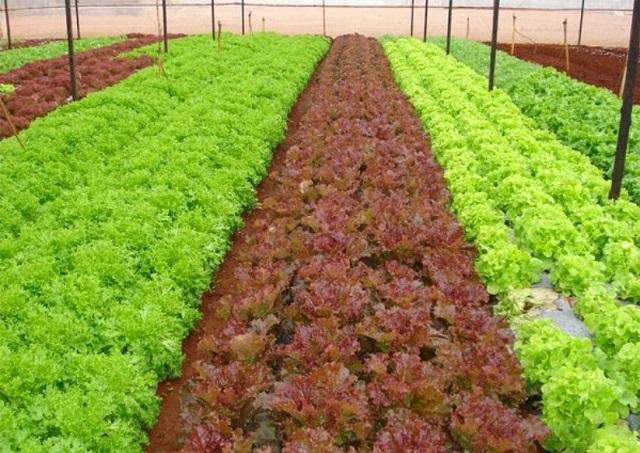 Thời điểm gieo hạt giống rau xà lách xoăn thích hợp nhất là từ tháng 8 đến tháng 4 năm sau