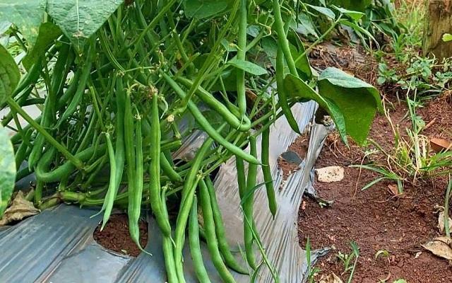 Thời vụ gieo trồng đậu cô ve lùn