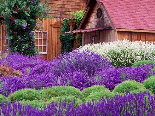 Trồng hoa oải hương giúp chống cháy tốt
