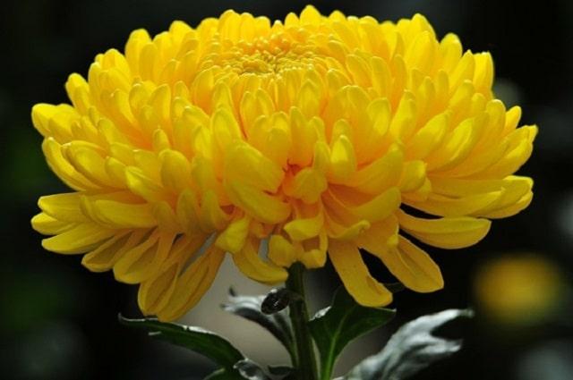 Vài nét giới thiệu về giống hoa cúc vàng