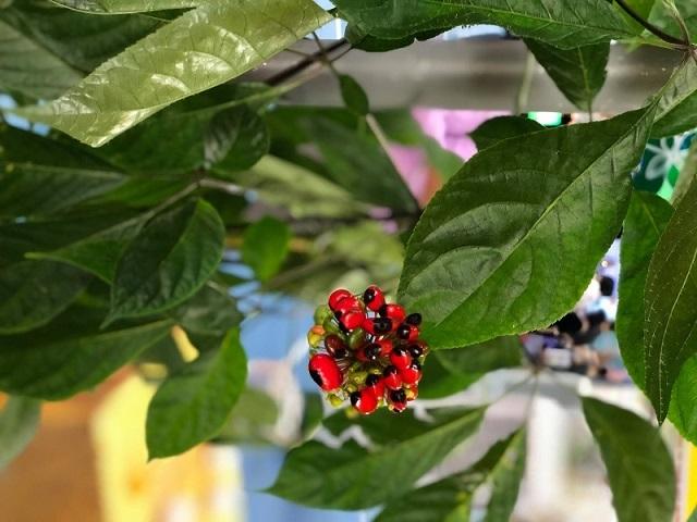 Việc gieo trồng và chăm sóc hạt giống cây sâm ngọc linh cần phải rất kỹ lưỡng tỉ mỉ