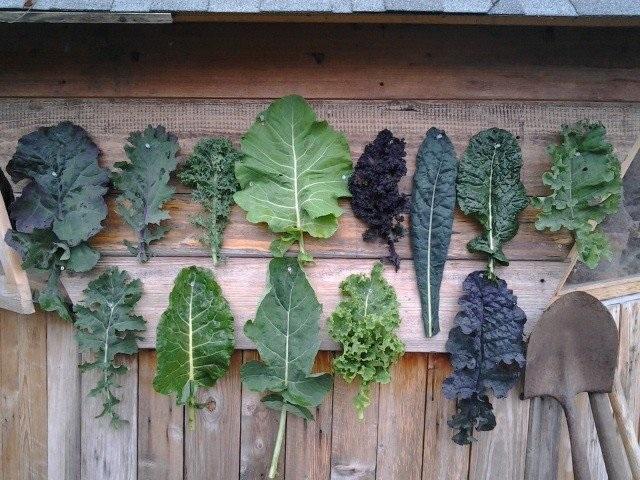 Vườn Mặt Trời cung cấp giống cải kale đa dạng