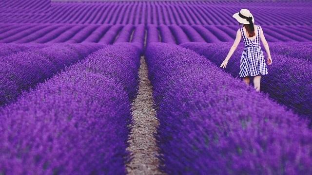 Vườn hoa oải hương tràn ngập sắc tím thơ mộng, quyến rũ