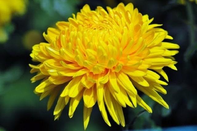 Ý nghĩa tiêu biểu của giống hoa cúc vàng