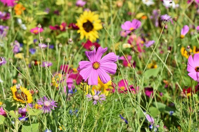 Hoa sao nhái mỏng manh, nhẹ nhàng như những cánh bướm