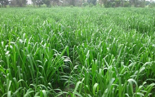 Báo giá hạt giống cỏ Mombasa