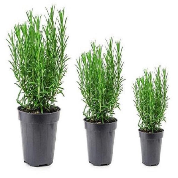 mua cây hương thảo ở hà nội
