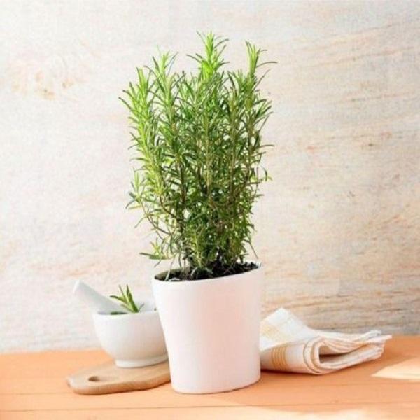 cây hương thảo có tác dụng gì
