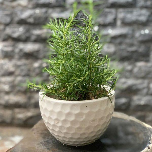 Cây hương thảo giúp làm đẹp không gian