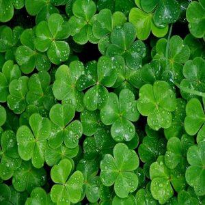 hạt cỏ may mắn
