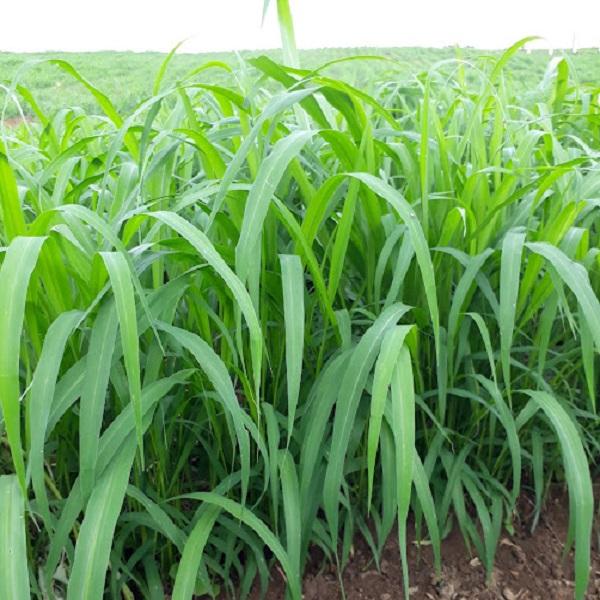 giống cỏ ghine mombasa