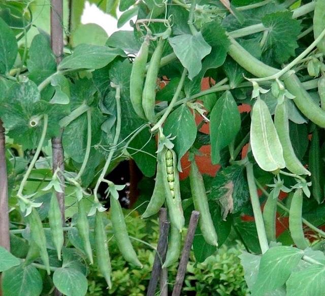 Đặc điểm cây đậu Hà Lan