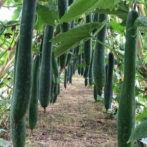 hạt giống bí đao xanh