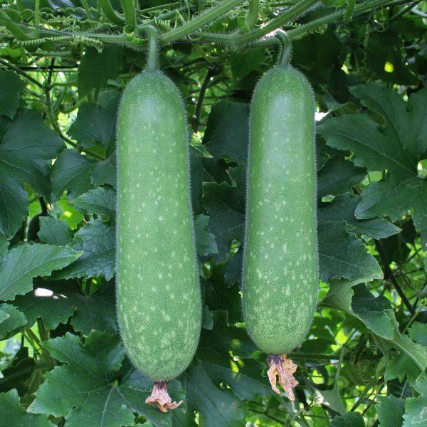 hạt giống bí đao
