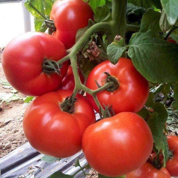 giống cà chua