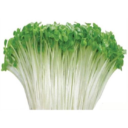 hạt giống rau cải mầm