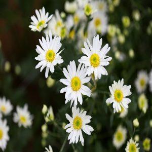 hạt giống hoa cúc họa mi