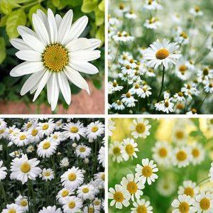 hoa giống cúc hoạ mi
